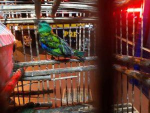 Os pássaros foram encaminhados aos cuidados do órgão ambiental